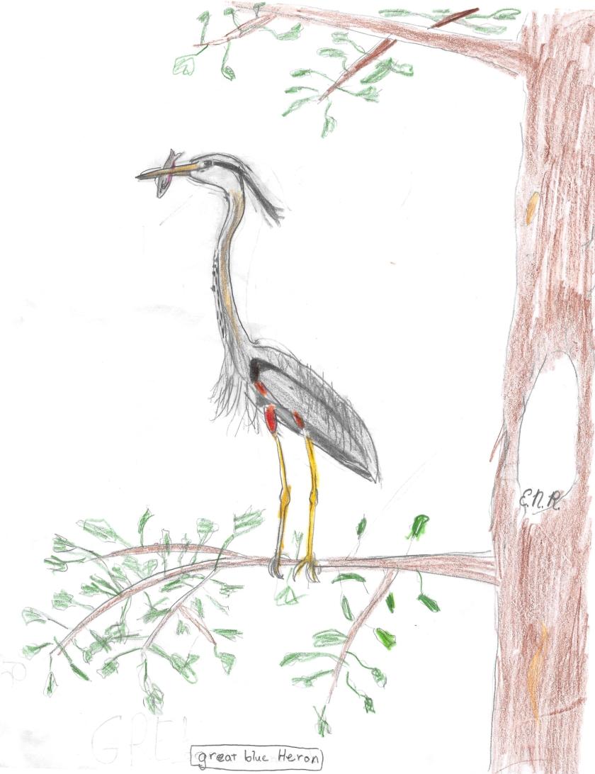 180110 great blue heron emma